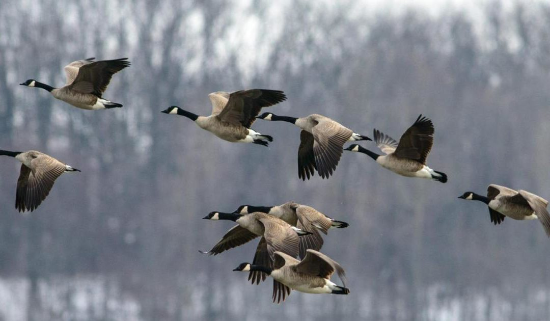 Hunter Knocked Unconscious By Falling, Dead Goose Shot By His Hunting Party